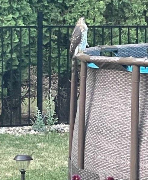 pool hawk